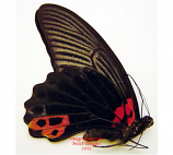Papilio memnon agenor (Malaysia) M: A2 F: A1 or A1-