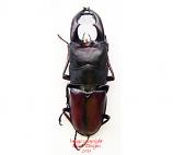 Prosopocoilus umhangi (Tanzania)