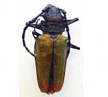 Psalidognatus superbus (Peru)