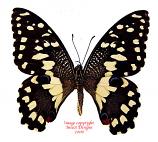 Papilio demoleus libanius (Philippines)