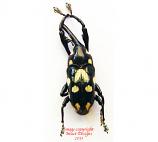 Alcidodes sp. (Philippines)