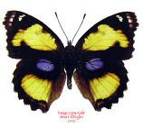 Junonia hierta (Thailand)