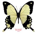 Papilio dardanus sp. (Tanzania) A-