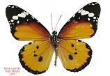 Danaus chrysippus (Philippines) A2