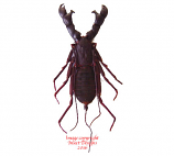 Hypocnotus rangunensis (Thailand)
