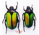 Caelorrhina semiviridis (Tanzania)