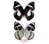 Mimathyma schrenckii (Korea) A2