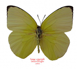 Catopsilia pomona (Philippines)