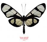 Thyridia themisto (Peru)