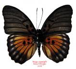 Euphaedra edwardsi (RCA) A2