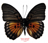Euphaedra edwardsi (RCA)