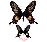 Pachliopta aristolochiae (Thailand) A-