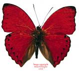 Cymothoe excelsa (RCA)