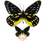 Delias sanaca perspicua (Thailand)