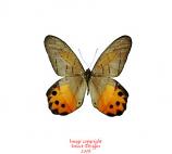 Pierella hyceta (peru) A-