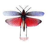Phymateus saxosus (Madagascar)