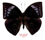Discophora necho (Sumatra)