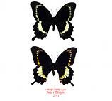 Papilio fuscus (Isabel, Solomons)