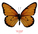 Danaus chrysippus (Tanzania) A-