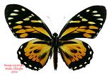 Papilio zagreus (Peru) -females
