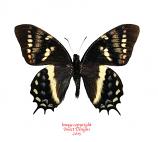 Papilio cacicus mendozaensis (Peru)