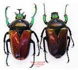 Neptunides polychrous - brown/green (Tanzania)