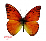 Appias nero flamenius (Philippines)