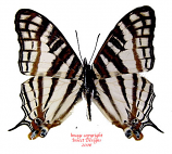 Cyrestis camilus (RCA) A-
