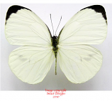 Pieris pharis (RCA) A2