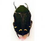Cetonidae sp. 1 (Philippines)