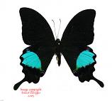 Papilio paris gedeensis (Java) A-