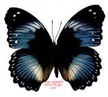 Hypolimnas salmacis (RCA)
