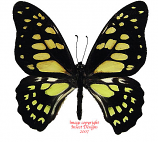 Graphium cyrnus cyrnus (Madagascar) A-