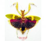 Creobroter urbanus (Malaysia)