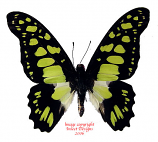 Graphium tynderaeus (RCA) A2