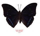 Charaxes zelica (RCA) A2