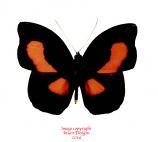 Catonephele orites (Ecuador)