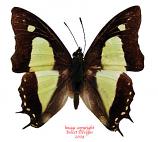 Polyura athamas attalus (Java)