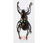 Pachyrrhynchus digestus (Philippines)
