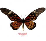 Papilio antimachus (RCA)
