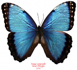 Morpho helenor carillensis (Costa Rica) A1 and A2