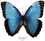Morpho helenor carillensis (Costa Rica)
