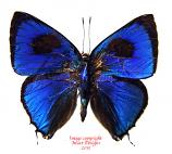 Thecla lisus (Peru)