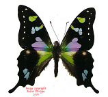 Graphium weiskei  (PNG)