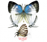 Thecla gibberosa (Peru)