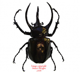 Chalcosoma atlas (Java)