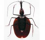 Mormolyce hagenbachi (Malaysia)