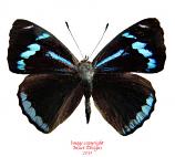 Perisama priene (Peru)