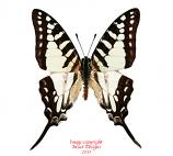 Graphium evombar (Madagascar) A2