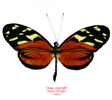 Heliconius ismenius (Colombia)